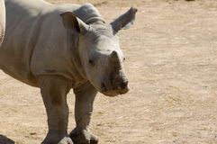 Baby rhino close up Stock Photos