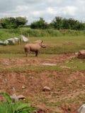 Baby Rhino. Cute Baby Rhino royalty free stock image