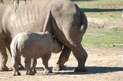 Baby Rhino Feeding Royalty Free Stock Photos