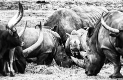 Baby Rhino. Feeding with adults and looking up in the camera, Black and White royalty free stock image