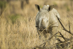 Baby Rhino in grass Royalty Free Stock Photos
