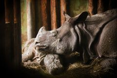 The rhino mother with his baby in Zoo Plzeň. stock images