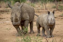 A baby rhino and his mother in the Kruger National Park stock image