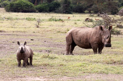 Baby Rhino and its mother Stock Photography