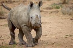 A baby rhino in the Kruger National Park royalty free stock photography