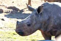 Little rhino. The baby rhino Royalty Free Stock Image