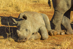 Baby rhino lying down to rest. In the African bush royalty free stock images