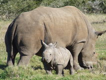Baby rhino and mom. Notice the large size difference between these two, its amazing that they get that big Stock Images