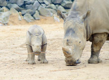 Baby rhino and mom Stock Photography