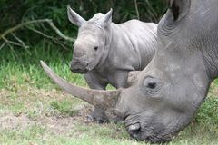 Baby Rhino and Mother. Cute baby White Rhino standing next to it's mother with large horn stock images