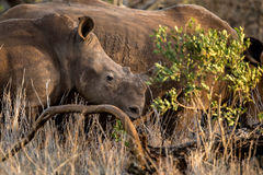 Baby rhino with mother. In an African game reserve we see a baby rhino sticking close to his mother through the bush at sunrise/sunset stock images