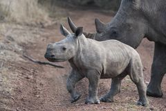 Baby Rhino and Mother. A baby rhino runs ahead of his mother as he explores stock photos
