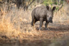 Baby rhino with mother. Cute baby rhino facing the camera in an African game reserve royalty free stock images