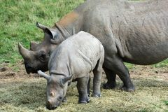 Baby rhino with mother grazing outside stock image