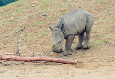 Baby rhino. A baby rhino playing with some wood royalty free stock photos