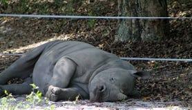 Baby rhino Stock Photography