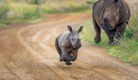 Baby Rhino running stock photo