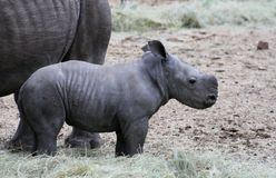 Baby rhino in the savanna Royalty Free Stock Photography
