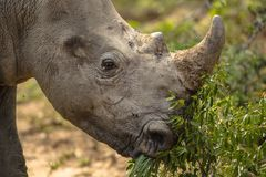 Baby Rhino in southern Africa. Baby white rhino busy eating leaves, photographed in southern Africa stock photos
