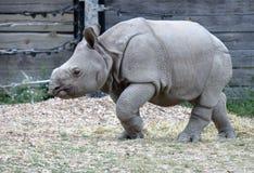 Baby Rhino. Taken at Toronto Zoo, Toronto, Ontario, July 15, 2016 royalty free stock photography