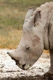Baby Rhino Royalty Free Stock Image