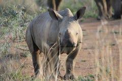 Baby rhino in the savanna. A baby rhino walking in the savanna stock images