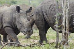 Baby Rhino walks with herd royalty free stock photo