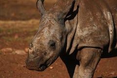 Baby Rhino. Baby White Rhino stock image
