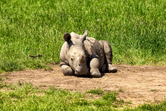 Baby Rhino. A baby white rhino lies on the ground royalty free stock images