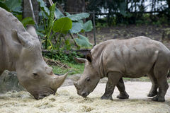 Baby rhinoceros Stock Photos