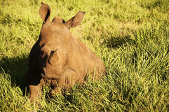 Baby rhinoceros. A baby rhinoceros basking in the sun on thick grass stock photography