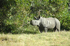 Baby rhinoceros Stock Photo