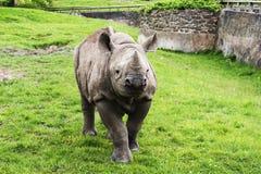 Baby rhinoceros. Captivity captive zoo chester horn endangered royalty free stock photography