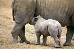 Baby rhinoceros feeding Stock Photos