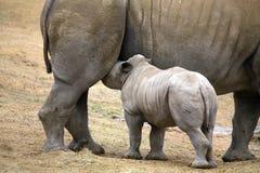 Baby rhinoceros feeding stock photos