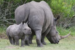 Baby Rhinoceros and Mom. Cute baby White Rhino standing next to it's mother which has a large horn royalty free stock images