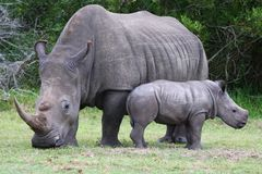 Baby Rhinoceros and Mom Royalty Free Stock Image