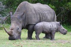 Baby Rhinoceros and Mom Royalty Free Stock Image