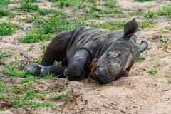 Baby rhinoceros with oxpecker. Baby white rhinoceros sleeping with red-billed oxpecker in Sabi Sands Game Reserve in the Greater Kruger Region in South Africa royalty free stock photography