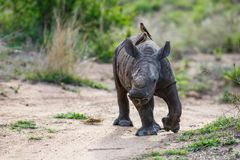 Baby rhinoceros with oxpecker. Baby white rhinoceros walking with red-billed oxpecker in Sabi Sands Game Reserve in the Greater Kruger Region in South Africa stock images