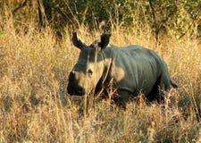 Baby rhinoceros Royalty Free Stock Image