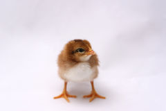 Baby Rhode Island Red Chick. En facing forward. The chick is 3 days old, a new born, white, red, brown with a stripe down its back stock photo