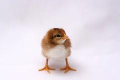 Baby Rhode Island Red Chick Stock Photo
