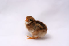 Baby Rhode Island Red Chick. En side view facing. The chick is 3 days old, a new born, white, red, brown with a stripe down its back royalty free stock photos