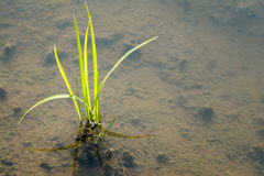 Baby Rice Plant Royalty Free Stock Images