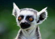 Baby ring-tailed lemur. Sunbathing Royalty Free Stock Photo