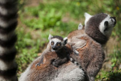Baby Ring tailed Lemur Royalty Free Stock Photo