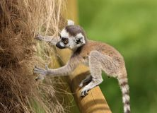 Baby Ring-Tailed Lemur Royalty Free Stock Image
