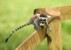 Baby Ring-Tailed Lemur. Close up of a baby Ring-Tailed Lemur learning to climb Royalty Free Stock Photos