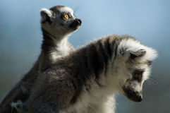Baby ring-tailed lemur. Cute ring-tailed lemur with baby Stock Photo